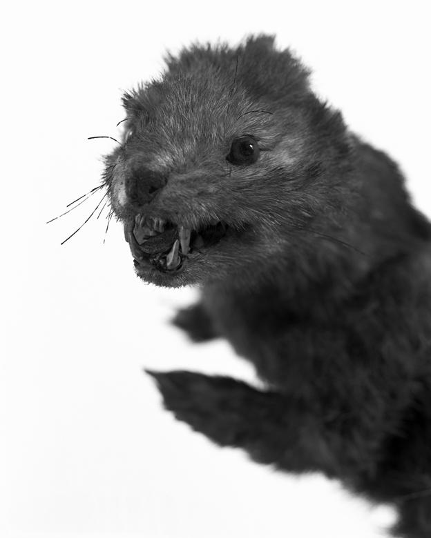 La Conservations des espèces – Portrait – Belette.