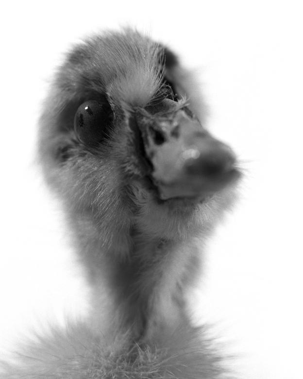 La Conservations des espèces – Portrait – Caneton.