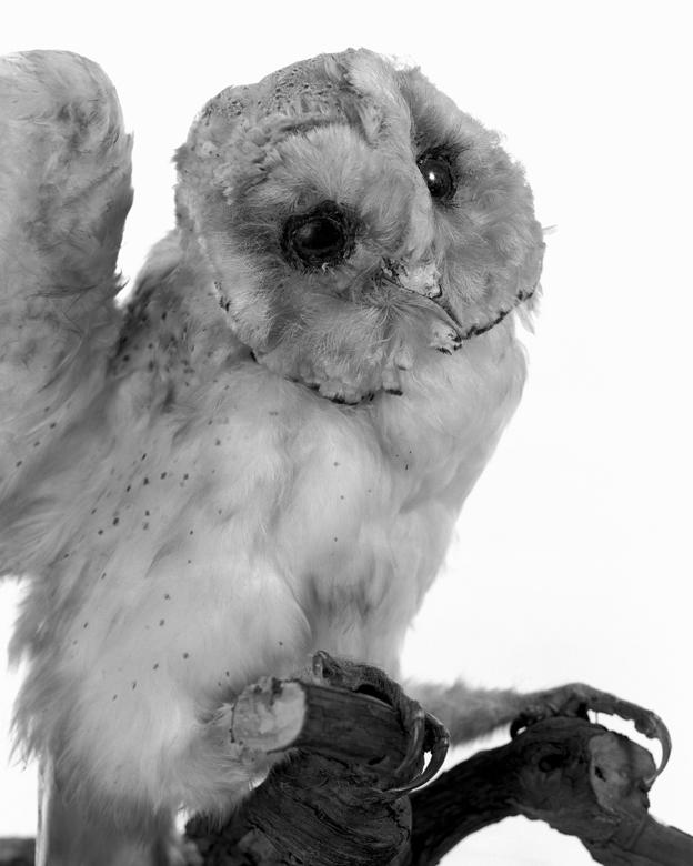 La Conservations des espèces – Portrait – Chouette.