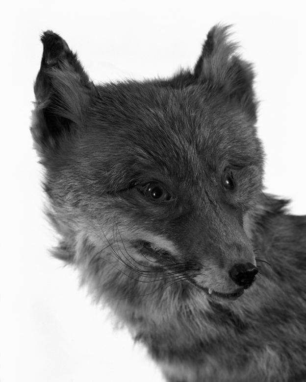 La Conservations des espèces – Portrait – Renard.